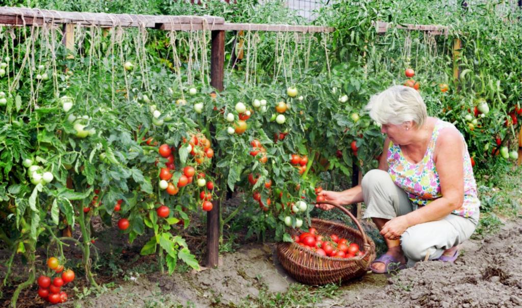 Как с пользой избавляться от ботвы томатов